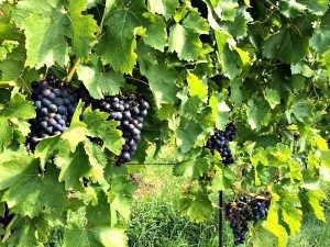 Things to do in Vienna September : Wine hiking