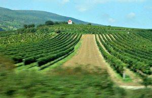 Vienna Tram: vineyards' view