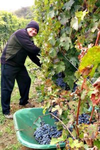 Burgenland winery tour: wine harvest at Hopler wines