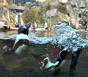 Vienna Zoo Schonbrunn: penguins